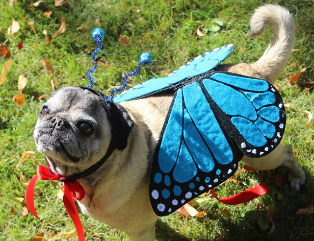Pug wearing butterfly costume