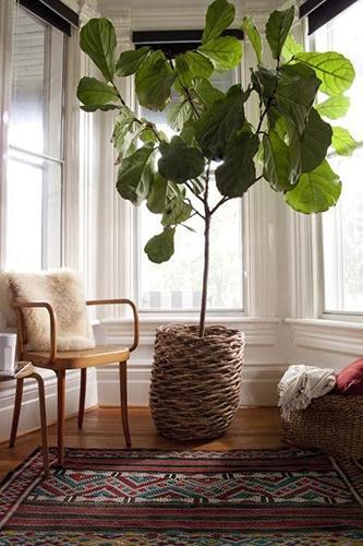 Decorar con plantas_higuera 4