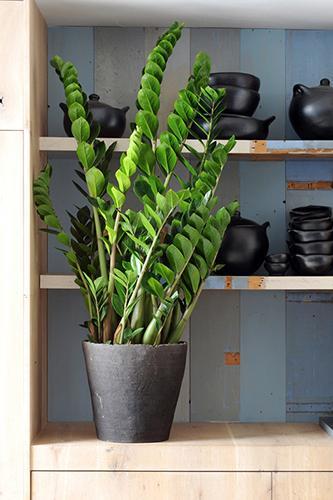 Decorar con plantas_zamioculcas 1