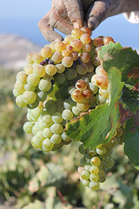 Assyrtiko Greek Grape Variety