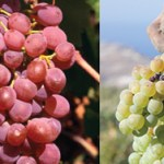 Exploring Traditional Greek Wine Varieties