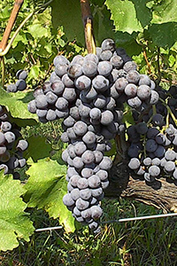Xinomavro Greek Grape Variety