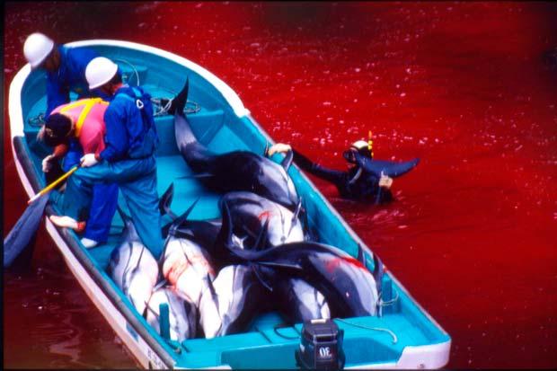 La muerte de los delfines en Japón