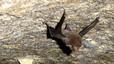 Coleura seychellensis. Murciélago endémico de dos islas de las Seychelles (Silhouette y Mahé), aunque en fechas pasadas cubría un área mayor. Al margen de la deforestación y el uso de pesticidas de décadas pasadas, ahora la principal amenaza es una planta invasora, 'Pueraria phaseloides', y la depredación de gatos y ratas. Población estimada: menos de 100 individuos.