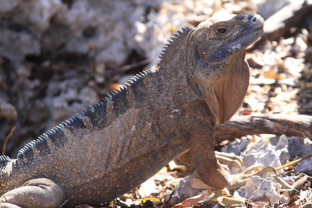 Cyclura collei (iguana de Jamaica). Iguana de tamaño medio que vive en zonas montañosa de Jamaica. Considerada extinta durante décadas, fue redescubierta en 1970. Al margen del problema de la deforestación y las explotaciones mineras, sufre una predación por parte de animales introducidos como mangostas, perros y gatos. Población estimada: desconocida.