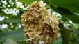 Dombeya mauritania (dombeya de Mauricio). Una de los numerosas especies de este género florístico en las islas del Índico, pero muy escasa. Amenazada por la destrucción de hábitats y la invasión de cultivos de cannabis y otras plantas. Se recomienda cultivos controlados para posteriores repoblaciones. Población estimada: desconocida.