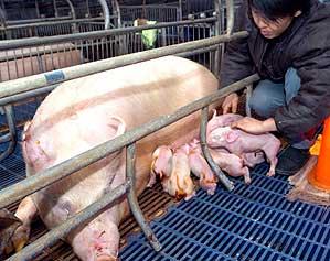 La madre amamanta a los cerdos fluorescentes (AFP)