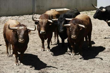 Toros de la ganadería de Alcurrucén, que correran el primer encierro de los Sanfermines. | Efe