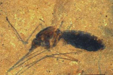 Imagen del mosquito fosilizado. | PNAS
