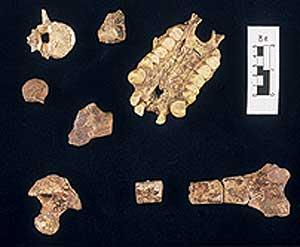 Huesos del 'Morotopithecus bishopi' (Foto: Aaron G. Fillet)
