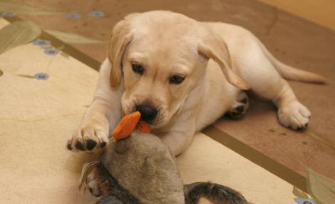 El Labrador clonado, en su casa de Boca Ratón (Florida). | Efe