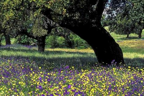 Una dehesa de encinas en primavera. | Juan Carlos Muñoz