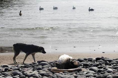 Un perro junto a un pelícano muerto en Canete.| Reuters