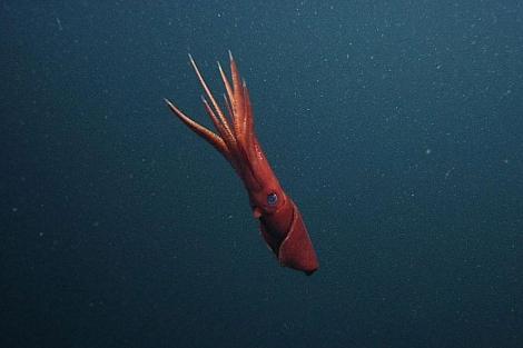 Una hembra de 'Octopoteuthis deletron'. | AFP/ Monterey Bay Aquarium Research Institute.
