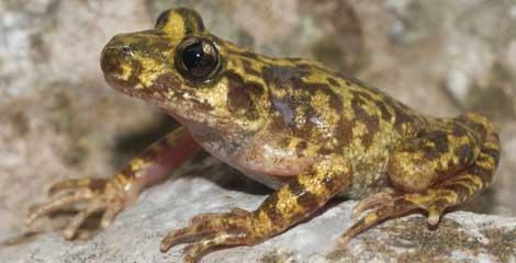 La quitridiomicosis, causada por un hongo, está reduciendo la población de anfibios. | CSIC