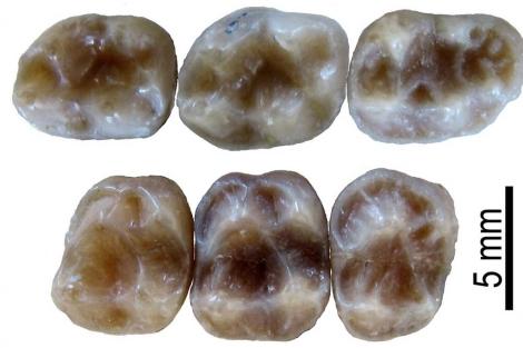 Dientes fosilizados del 'Barberapithecus' hallados en Cataluña.   ICP