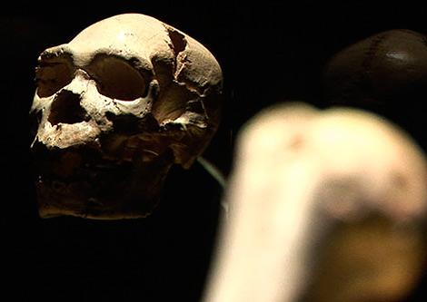 Cráneo de 'Miguelón', encontrado en Atapuerca.