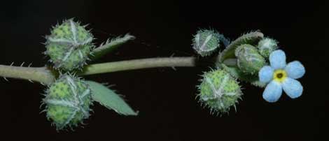 Un ejemplar de 'Gyrocaryum oppositifolium'. | CSIC