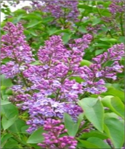 lilac-blooms