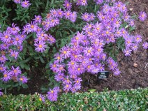 These asters were my favorite.