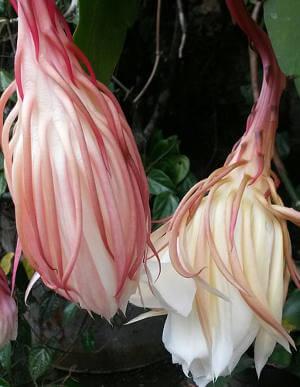 эпифиллюм цветок