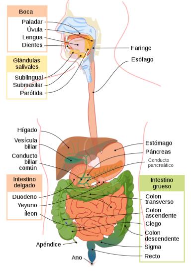 ¿Cuánto tarda el ser humano en hacer la digestión? 0