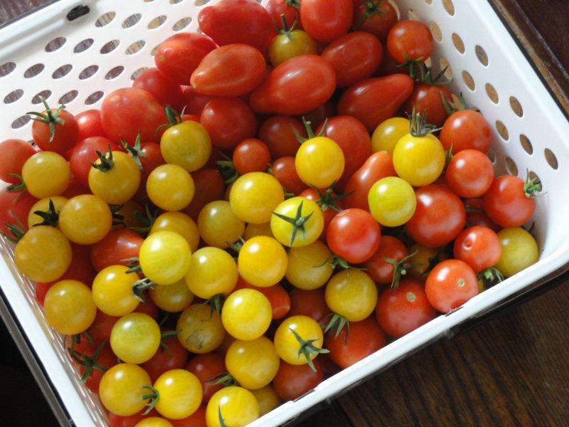 トマトの完全無農薬無肥料ビオトープ水耕栽培