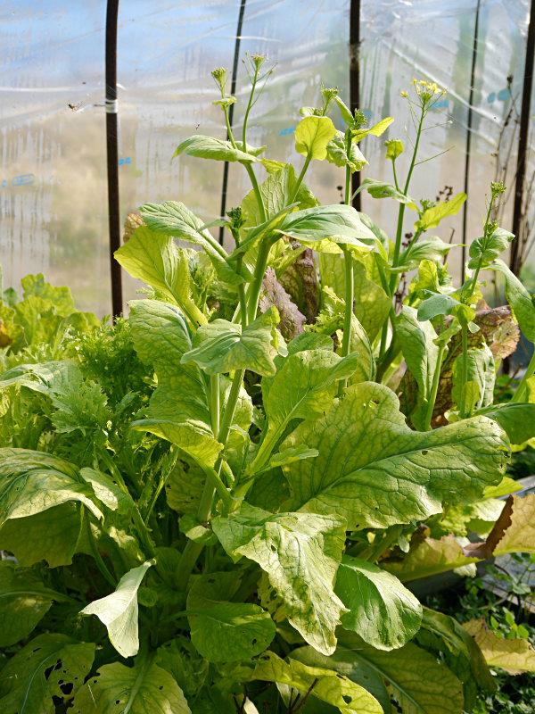 小松菜の菜の花