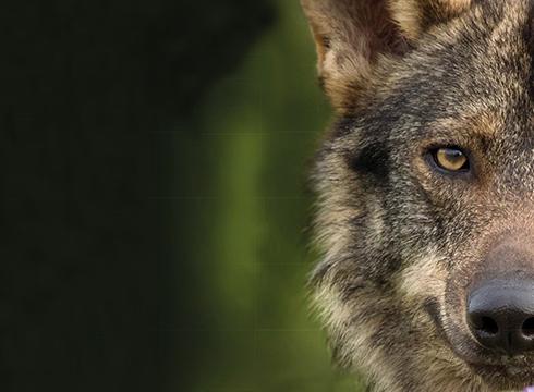 """Gaur emango dute """"Barbacana, la huella del lobo"""" filma, GNaturaldiaren barruan"""