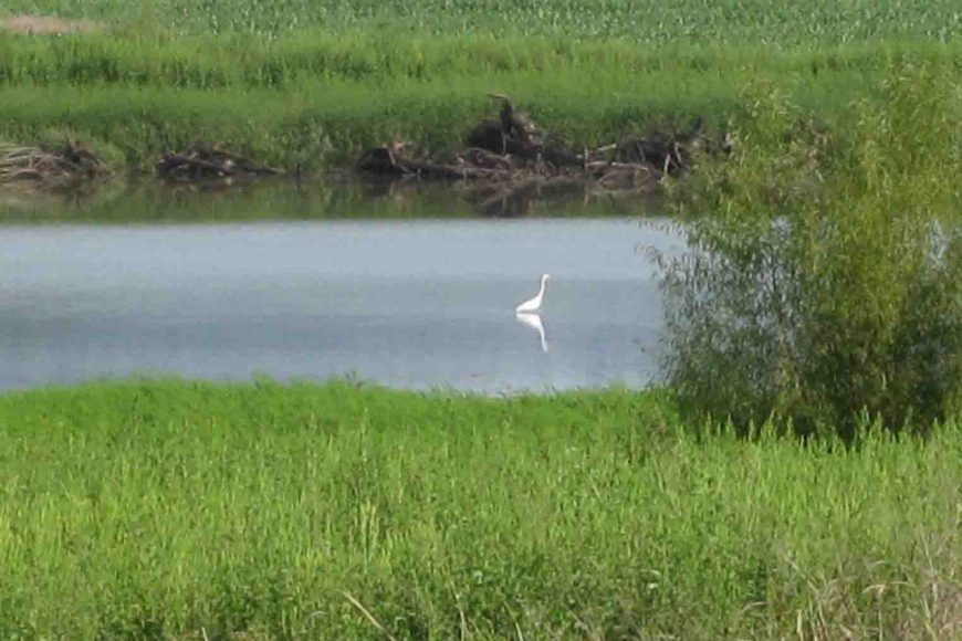egret at holla bend wildlife refuge