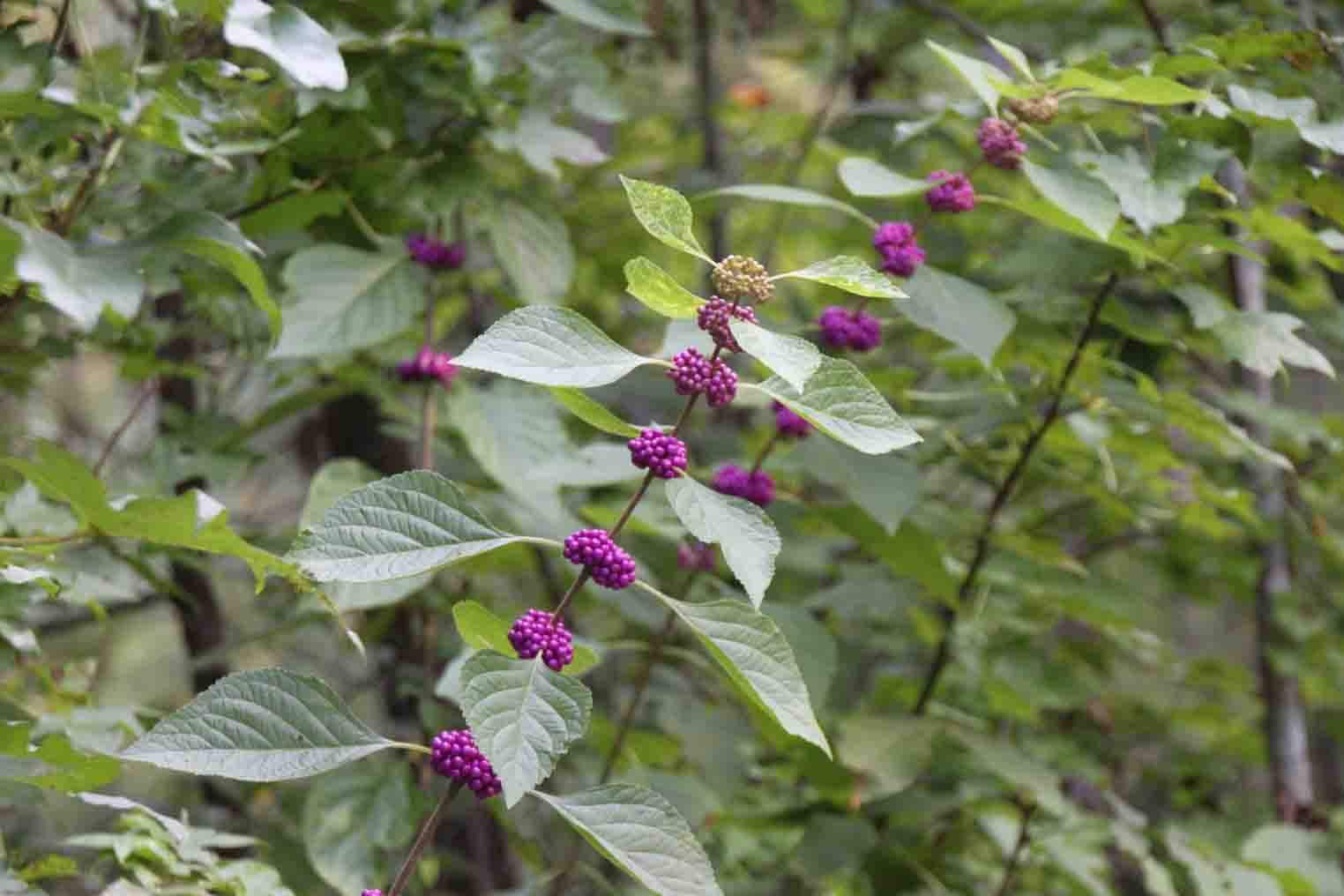 purple berry in the arkansas ozarks