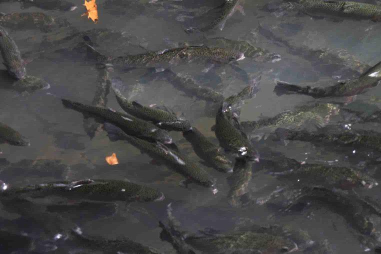 fish at Maramec Spring Park in the Missouri Ozarks