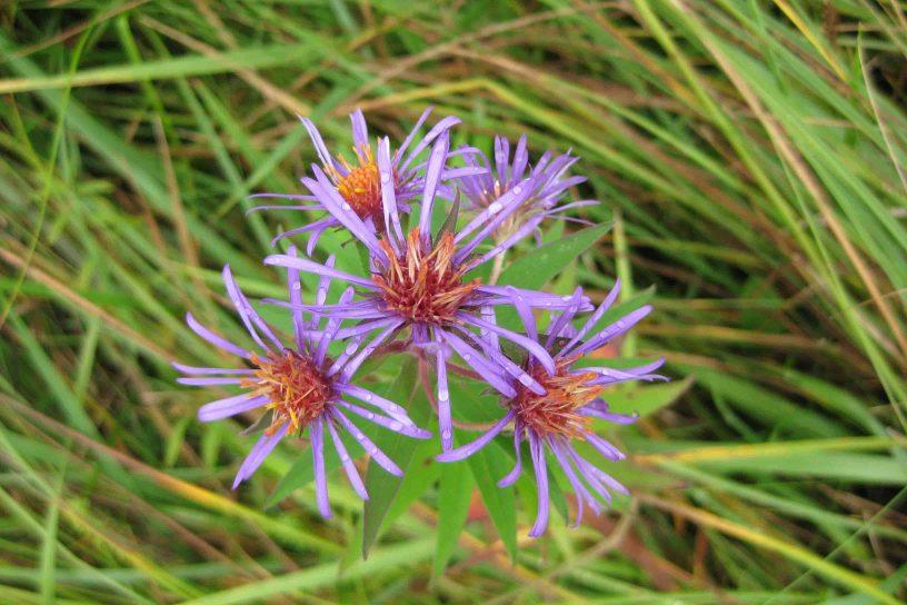 purple flowers at the missisquoi National Wildlife Refuge