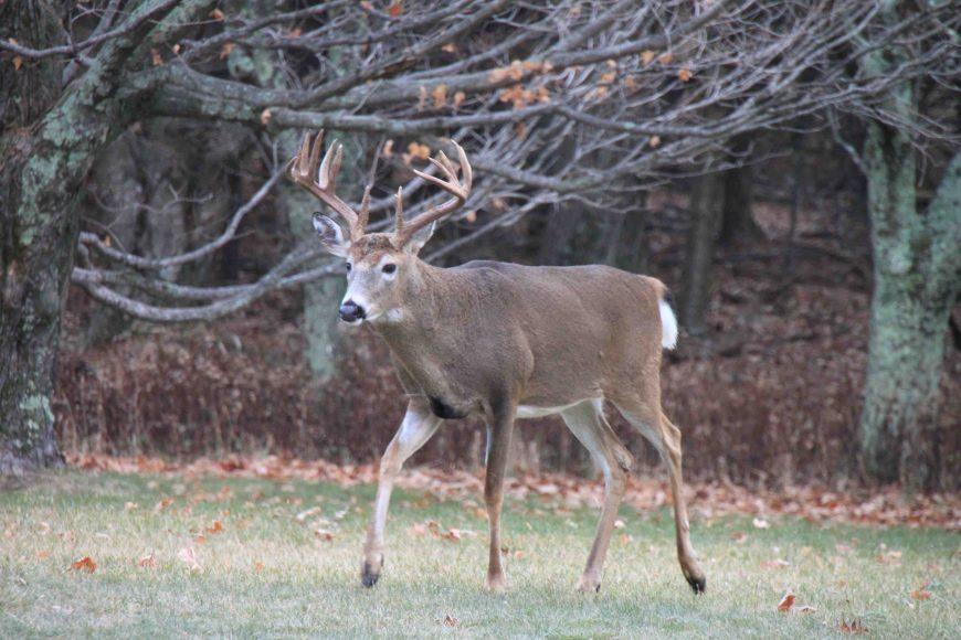 buck in shenandoah national park