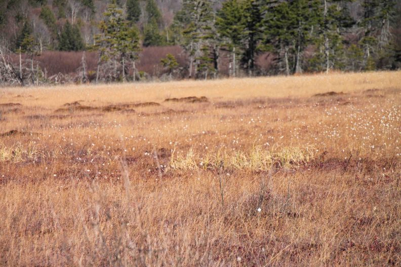 Cranberry Glades in the potomac highlands