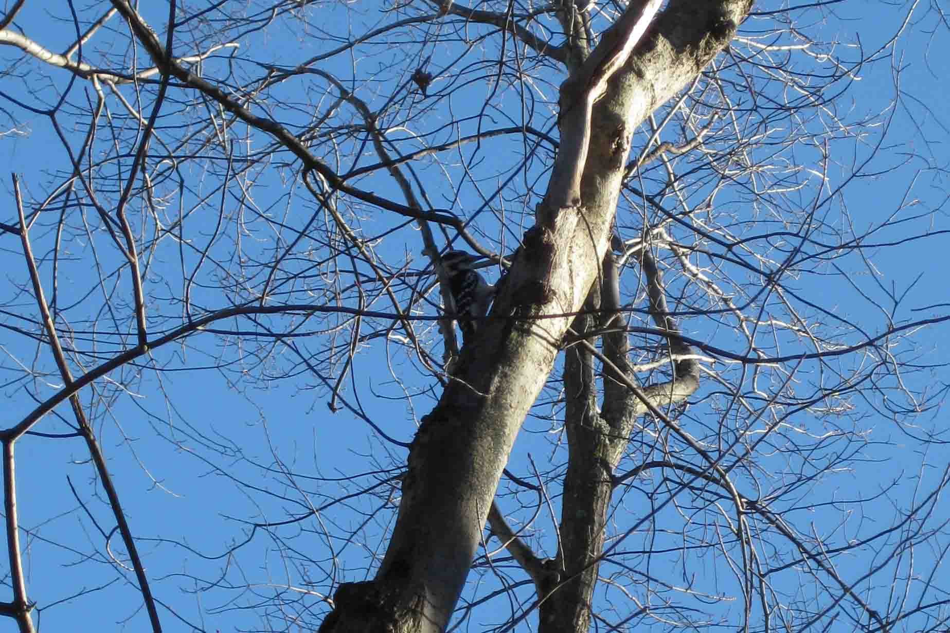 woodpecker in west virginia