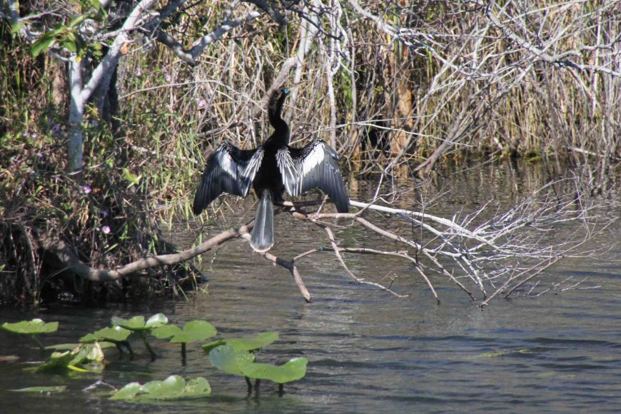 anhingag in the florida everglades national park