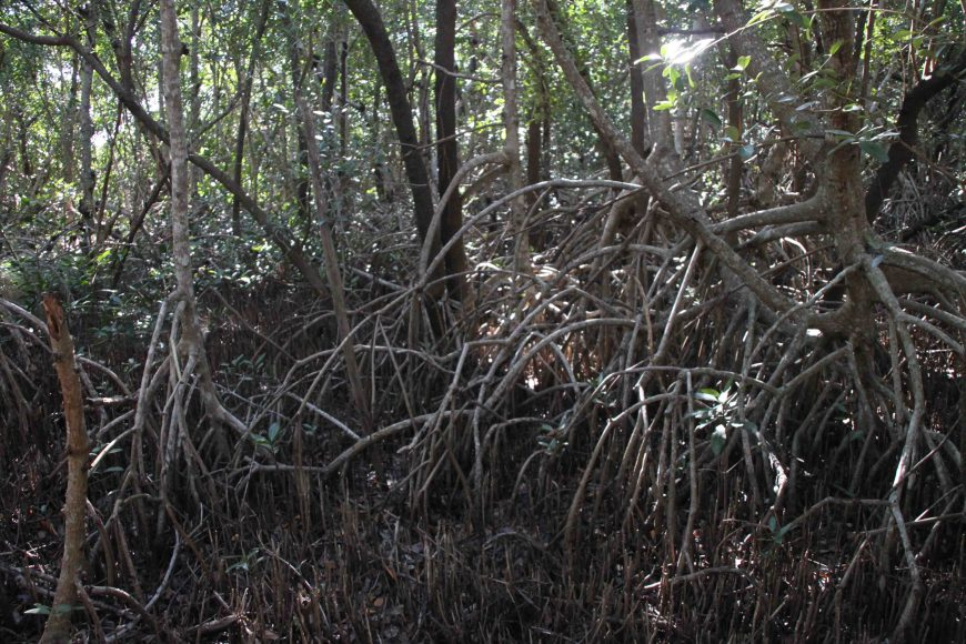 mangrove roots in the florida everglades national park