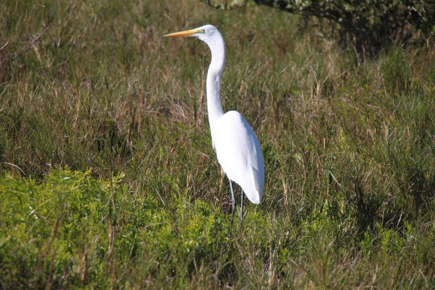 White heron in the florida everglades national park
