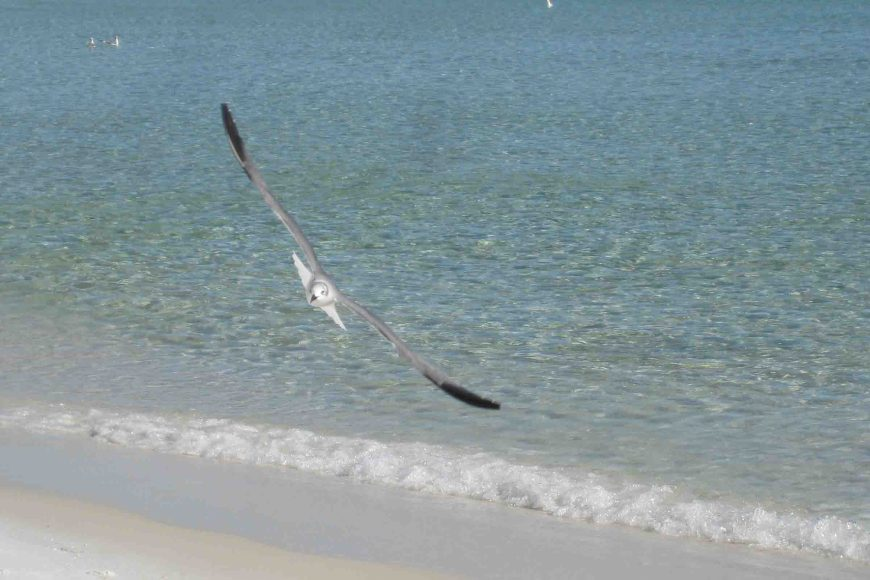 gull in destin