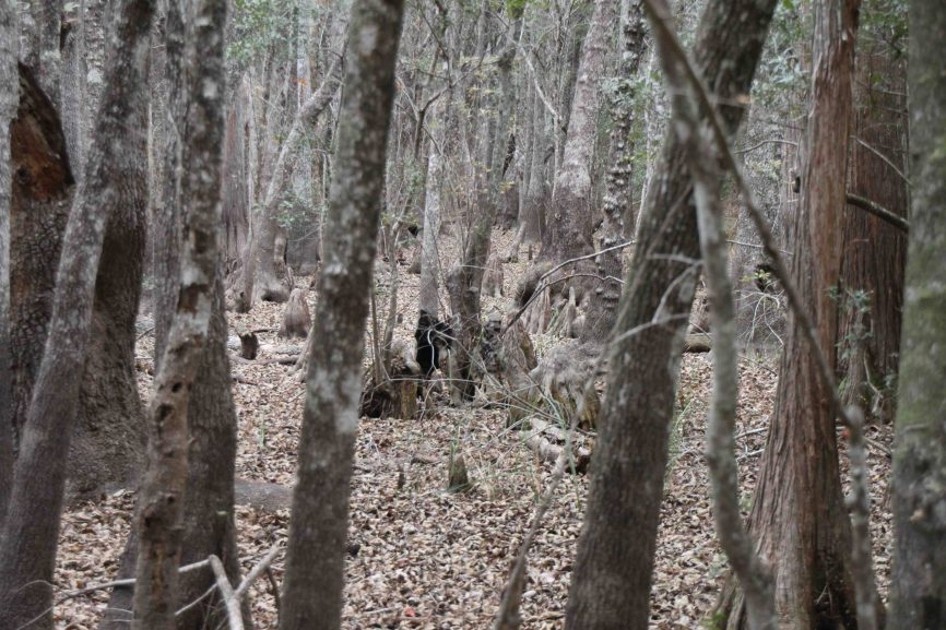 apalachicola national forest, leon sinks geological area