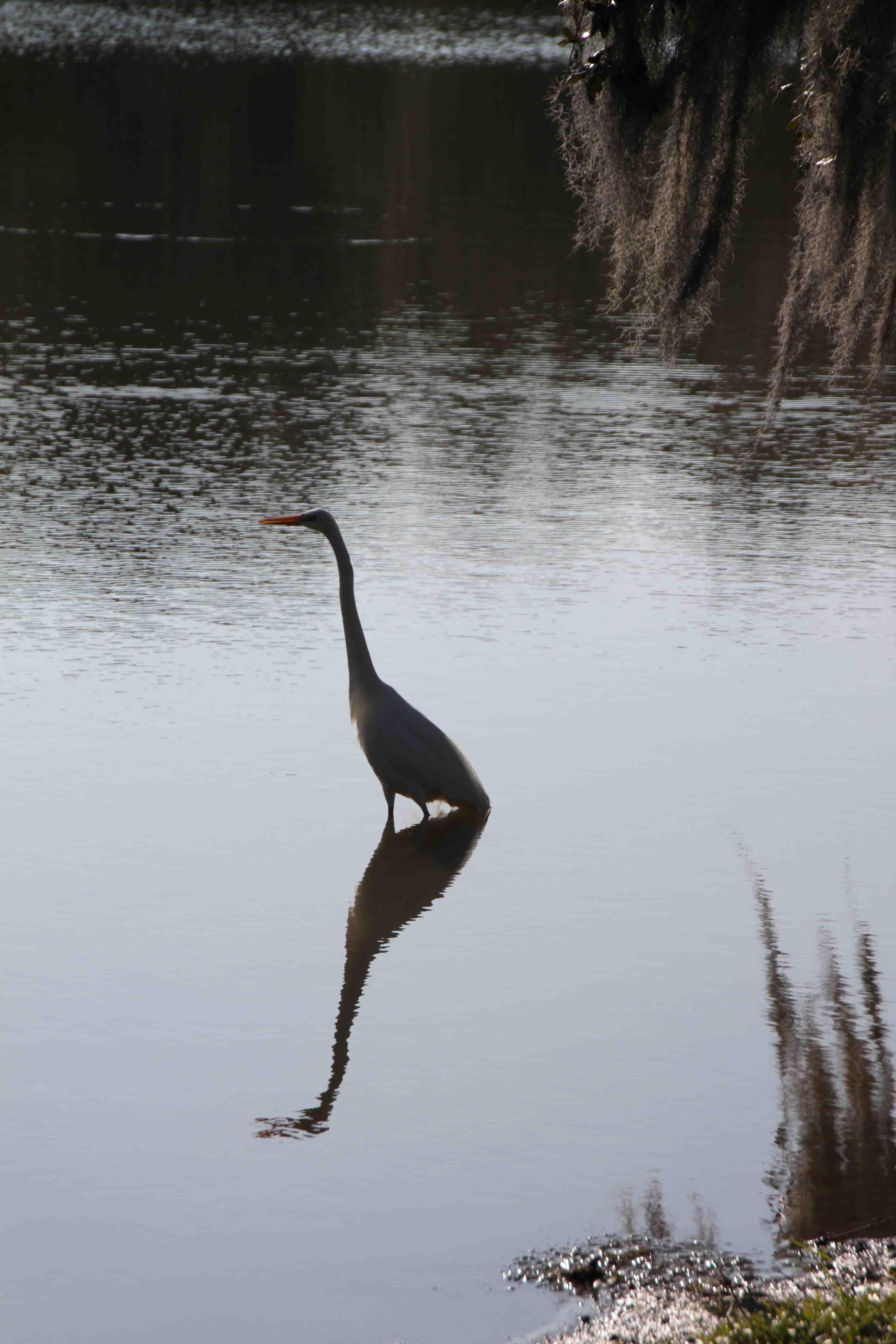egret on avery island, louisiana