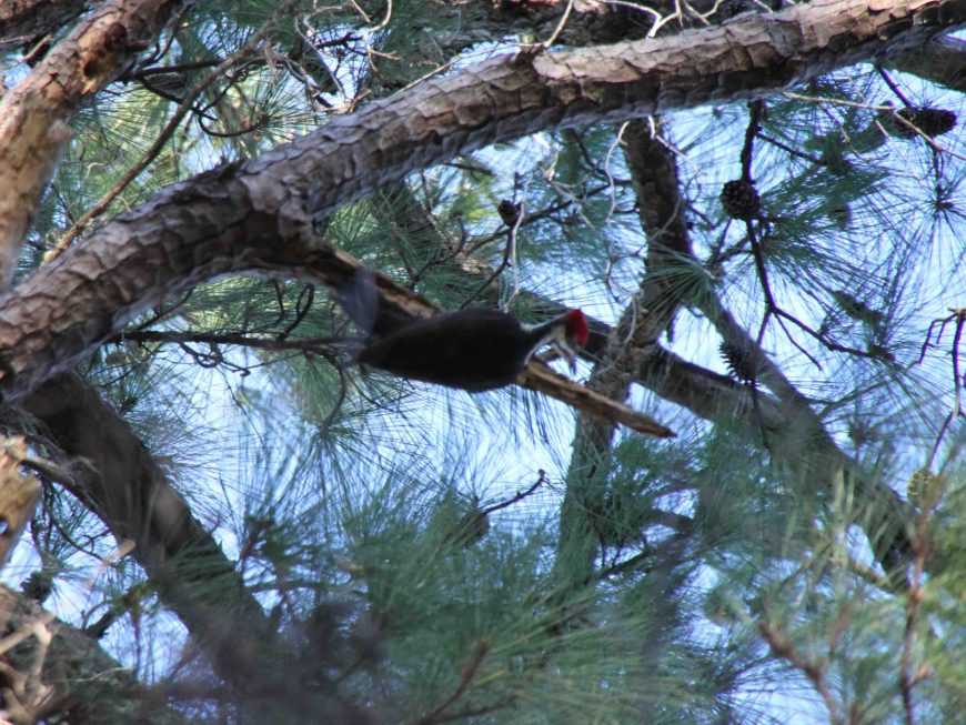 woodpecker at bastrop state park