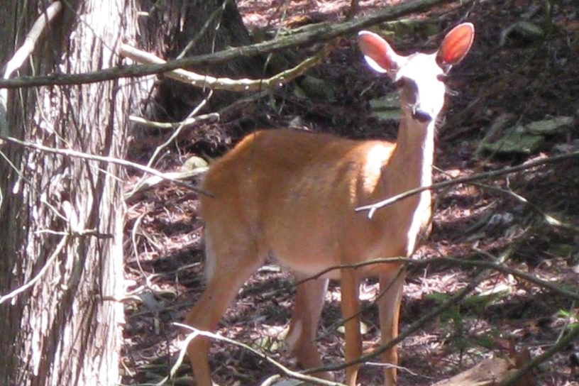 deer on Michigan's upper peninsula
