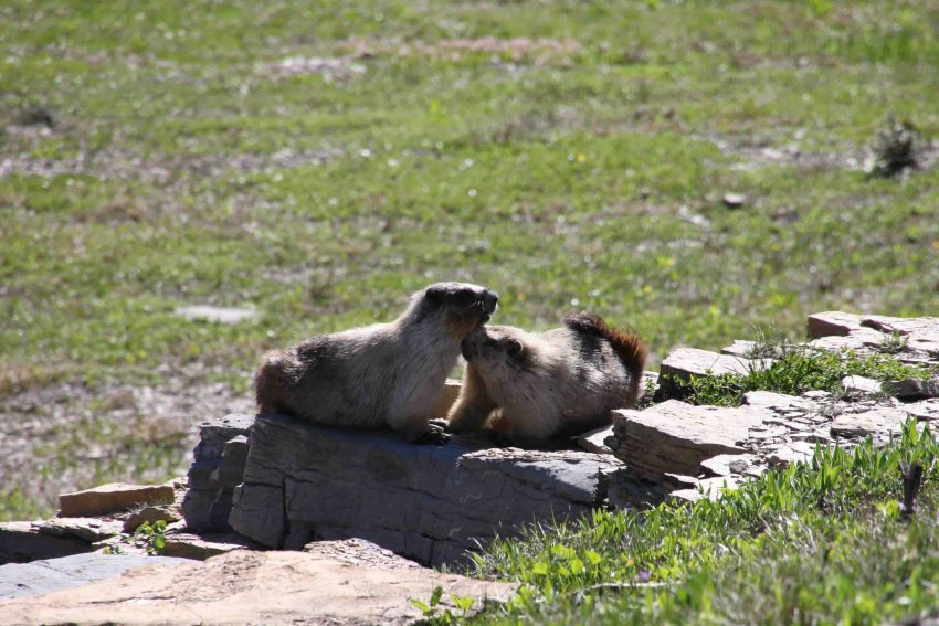 marmots on the going to the sun road