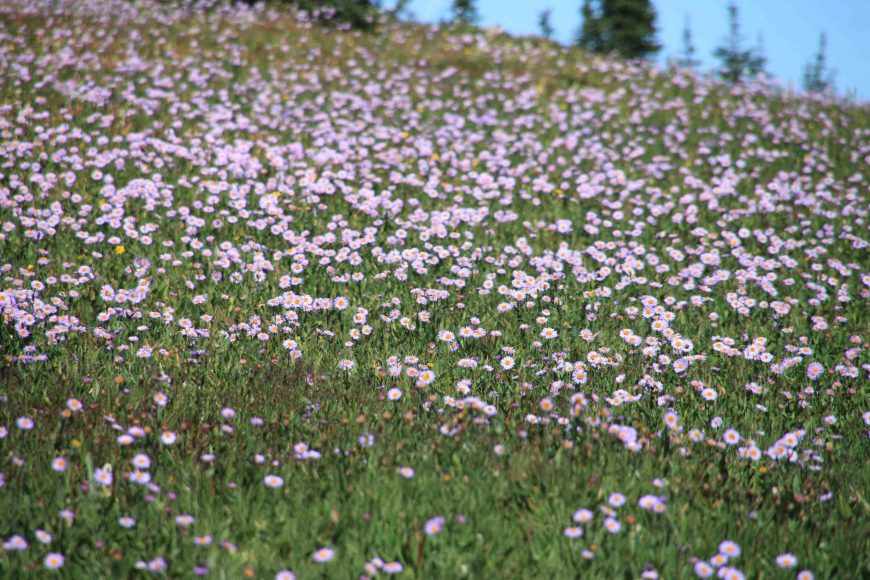 field of aster in glacier national park