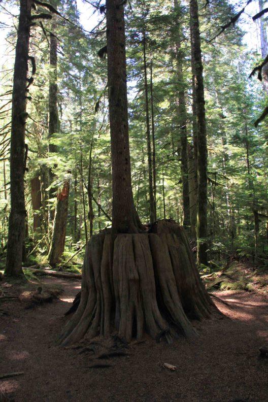 springboard stump in the north cascades