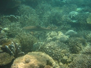Black tip reef shark