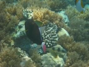 pink tail triggerfish