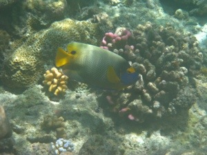 Yellow Masked Angelfish